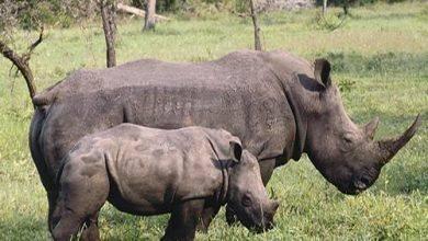 Photo of معلومات عن وحيد القرن