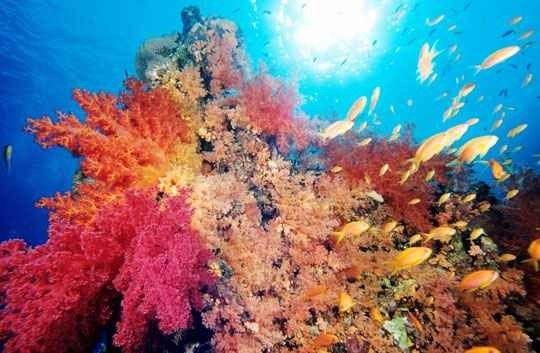 معلومات عن البحر الأحمر (الشعاب المرجانية الملونة)