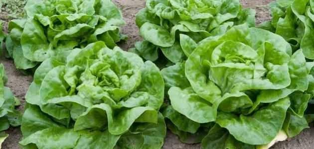 عدة عوامل لابد أن تعرفها فى زراعة الخس .. طريقة زراعة الخس ..