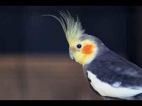 طائر الكروان .. تعرف أكثر على الكروان ..(1) 4-20.jpg