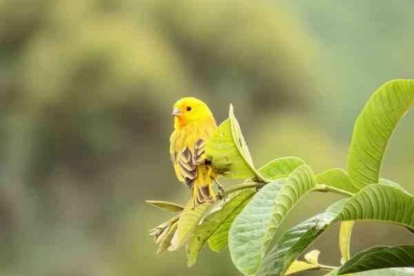 معلومات عن طائر الكناري