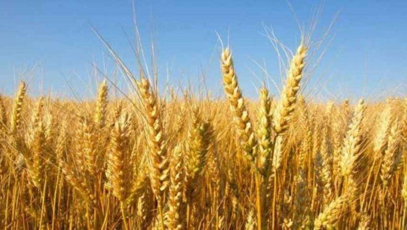 طريقة زراعة القمح