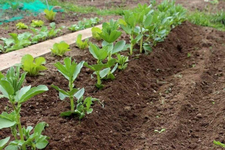 طريقة زراعة الفول ..