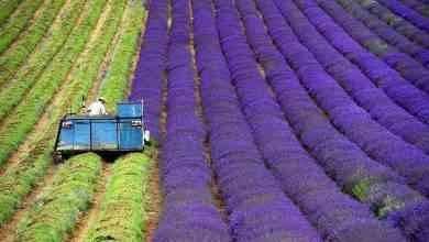 Photo of طريقة زراعة الخزامى .. إليك خطوات زراعة الخزامى ..