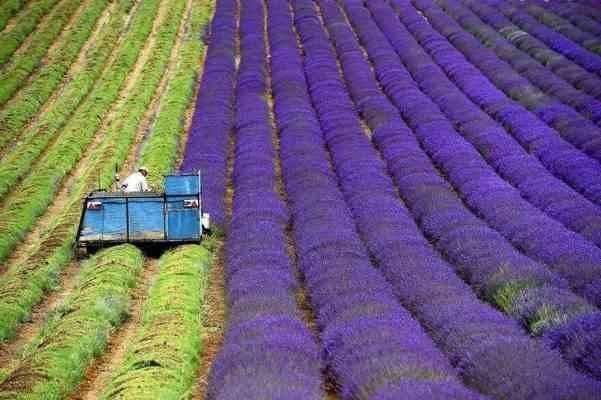 الخطوة الثانية فى طريقة زراعة الخزامى .. الزراعة ..
