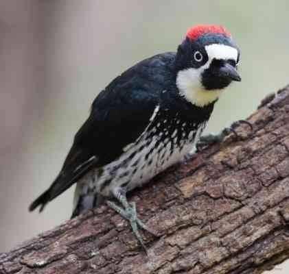 موطن طائر نقار الخشب - معلومات عن طائر نقار الخشب