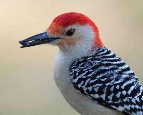 تهديدات علي حياة طائر نقار الخشب - معلومات عن طائر نقار الخشب