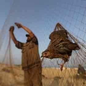 كيفية صيد طيور السمان ؟