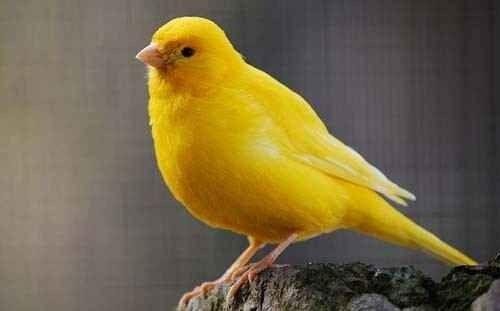 تزاوج طائر الكناري - معلومات عن طائر الكناري