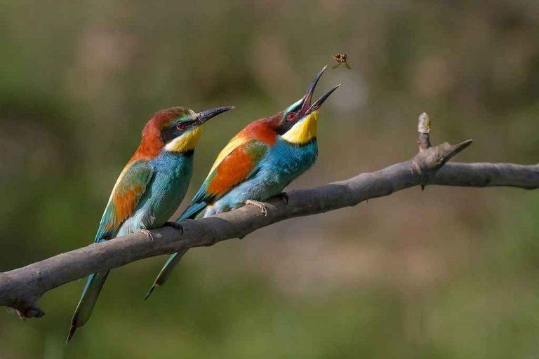 تزواج طائر الوروار