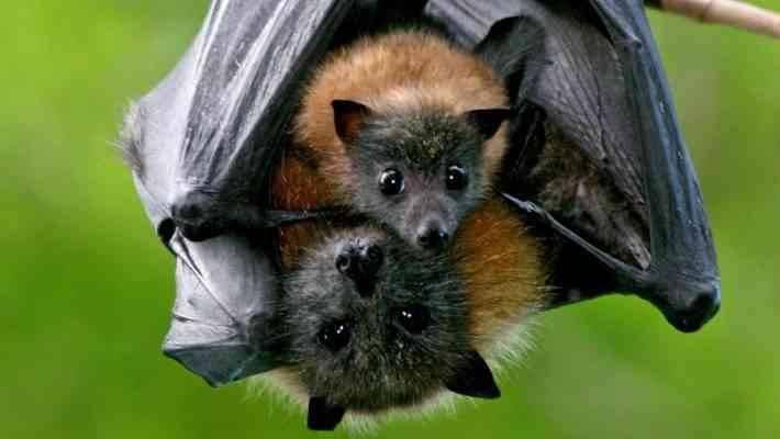 معلومات عن طائر الوطواط