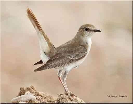 طول جناح طائر العندليب