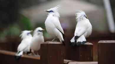 معلومات عن طائر الزرزور