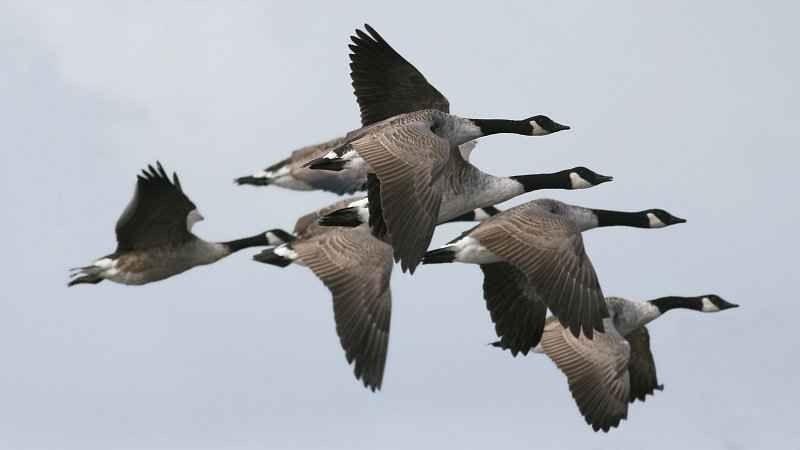 هجرة طائر الوز