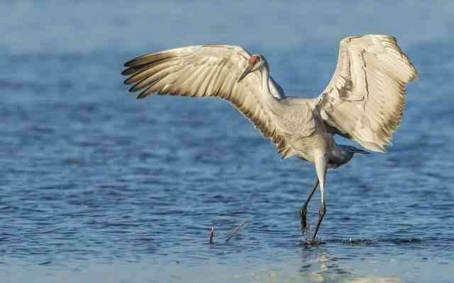 طائر الكرك .. تعرف عليه! Cranes-are-found-on-every-continent-with-the-exceptions-of-the-Antarctic-and-South-America-640x400.jpg