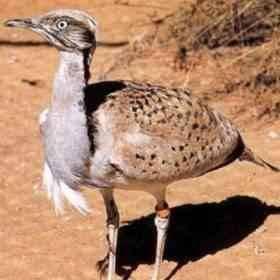 معلومات عن طائر الحبارى