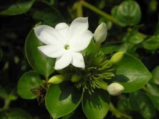 الآفات التي تتعرض لزهرة الفل - معلومات عن زهرة الفل