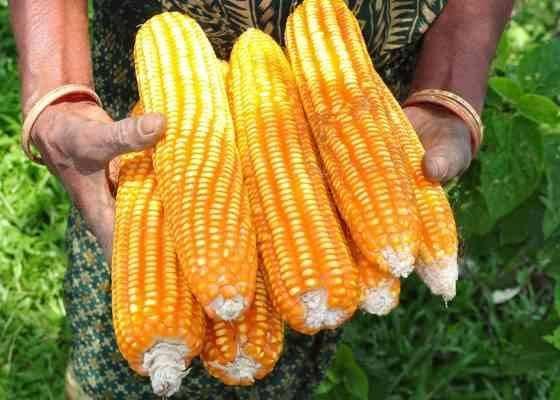 حصاد الذرة