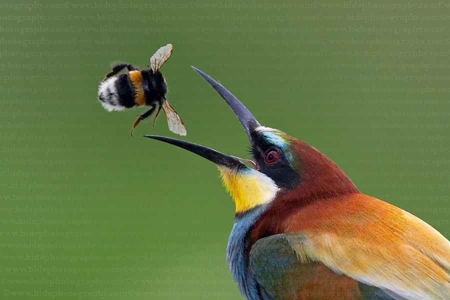 طائر الوروار صائد النحل