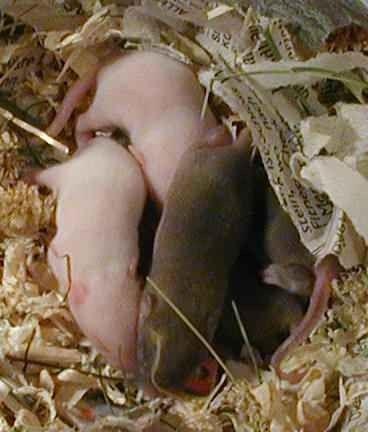 حقائق عن الفئران