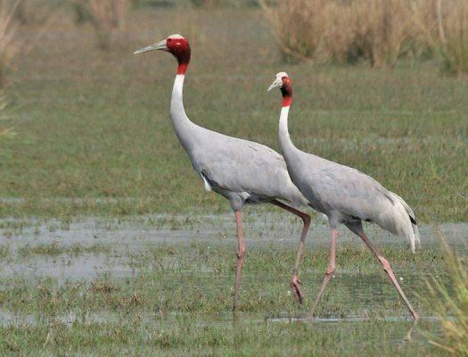 طائر الكرك .. تعرف عليه! The-crane-is-a-large-long-beaked-bird-that-is-found-all-over-the-world.-525x400.jpg