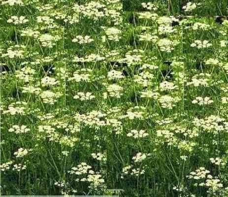 نبات الكمون