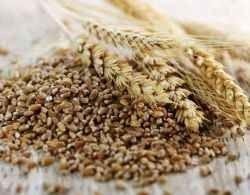 ما هى حساسية القمح