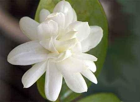 طريقة زراعة زهرة الفل- معلومات عن زهرة الفل