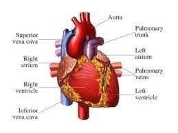 تعريف القلب