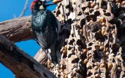شكل وحجم طائر نقار الخشب - معلومات عن طائر نقار الخشب