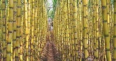 زراعة السكر مفيدة للبيئة