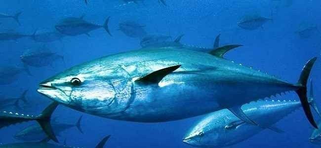 فوائد واضرار اكل سمك التونة
