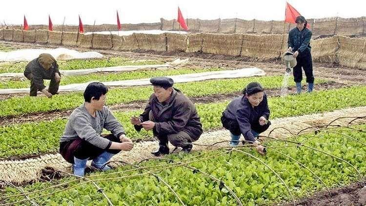 الزراعة في كوريا الشمالية