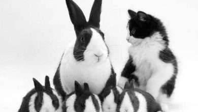 Photo of معلومات عن الارنب الهولندي .. تعرف على أصول وسلوك الأرانب الهولندية وكيفية العناية بها