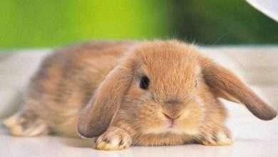 Photo of معلومات عن الارنب الفرنسي … تعرف على أهم الحقائق عن الأرانب الفرنسية