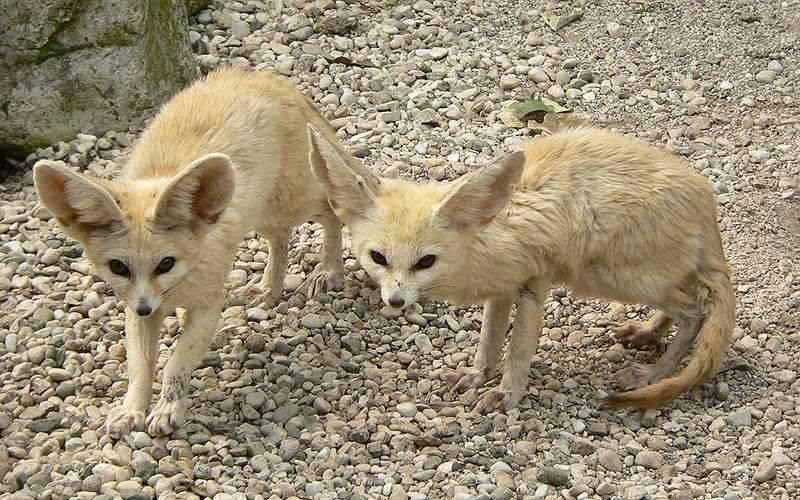 الحيوان الوطنى في الجزائر( ثعلب الفنك )