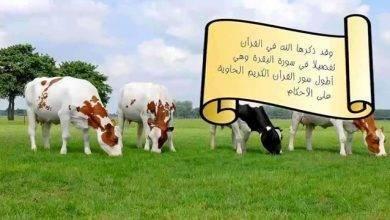 Photo of معلومات للاطفال عن البقرة .. إليك مجموعة من المعلومات عن البقرة ..