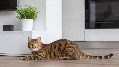 صورة فن التعامل مع القطط