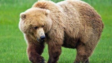 Photo of معلومات للأطفال عن الدب… إليك معلومات مهمة للأطفال عن الدب