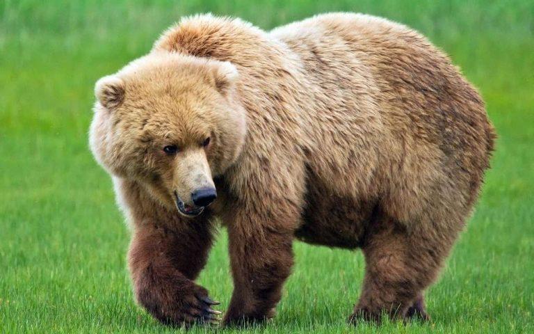 معلومات للأطفال عن الدب