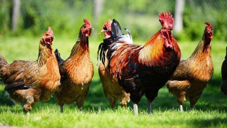 معلومات للأطفال عن الدجاج