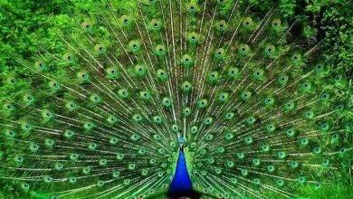 Photo of معلومات للأطفال عن الطاووس ..إليك بعض المعلومات عن طائر الطاووس تعرف عليها