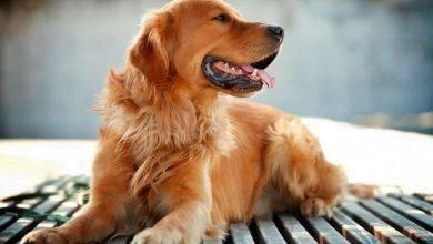 Photo of طريقة تربية الكلاب الجولدن… نصائح متنوّعة للعناية بكلاب الجولدن يوميًّا