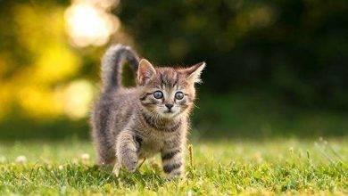 Photo of طريقة تربية القطط الصغيرة… معلومات عن تربية القطط وأصغر أنواع القطط