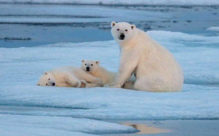 معلومات للأطفال عن الدب القطبي