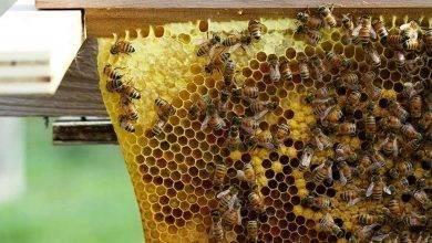 Photo of تغذية النحل في الشتاء .. أشياء مسموح بها وأخرى ممنوعة عند تغذيته وتربيته