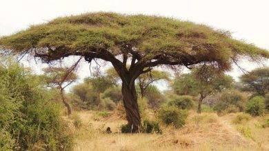 Photo of معلومات عن شجرة السمر