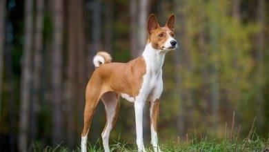 Photo of طريقة تربية الكلاب البلدي…أهم النّقاط التي يجب مراعتها في تربية كلاب باسنجي