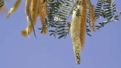Photo of معلومات عن شجرة المسكيت