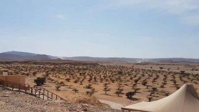 Photo of معلومات عن شجرة اللبان في سلطنة عمان .. أهم الحقائق والمعلومات عن شجرة اللبان في عمان